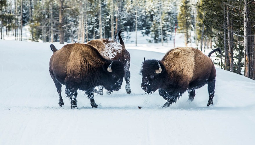 Travel Tips for Visiting Yellowstone National Park