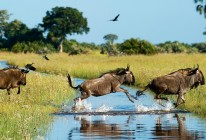 Wildebeest running through water