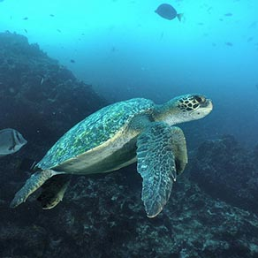 Sea Turtle on the Galapagos Family Vacation