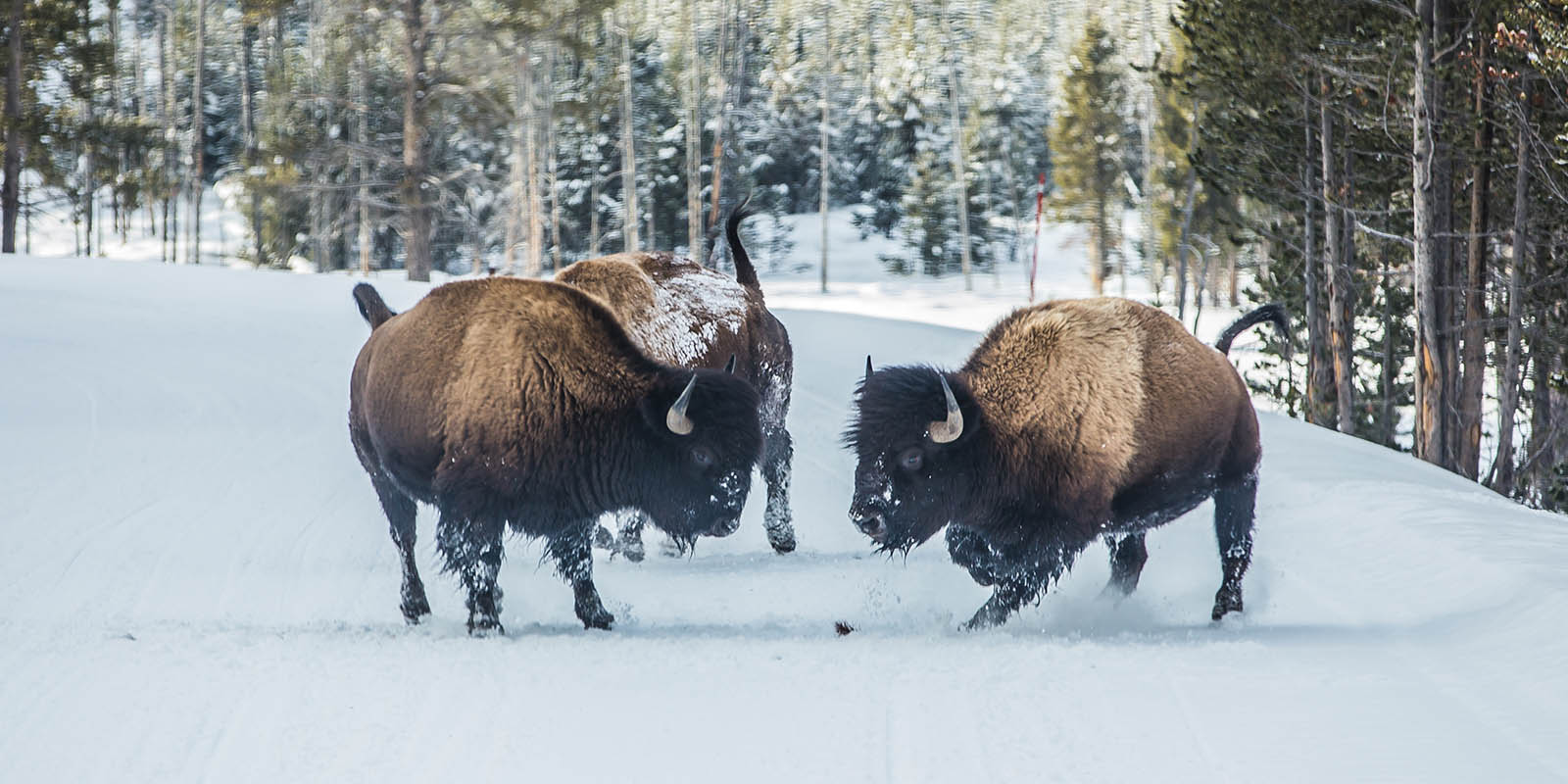 Top 10 reasons to take a Yellowstone winter tour: