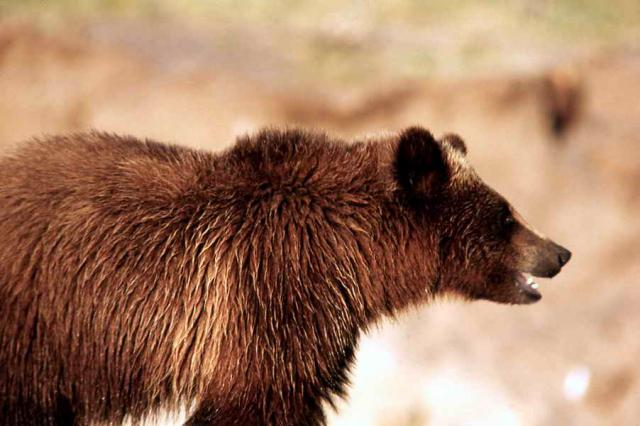 Yellowstone Family Adventure - Grizzly Bear