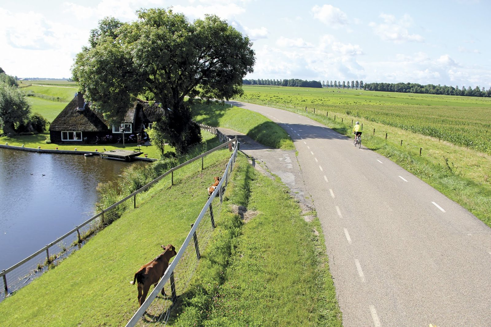 highway in friesland with cow close to road