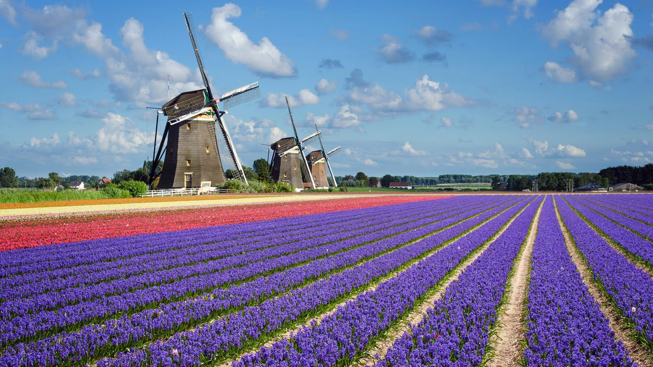 field of tulips in holland with windmills in the background